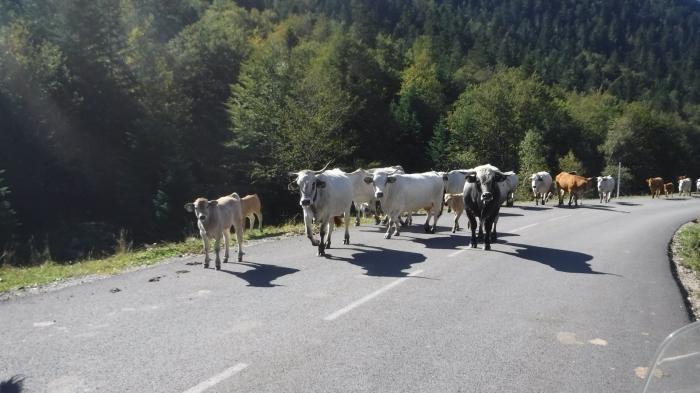 Surprise Cows